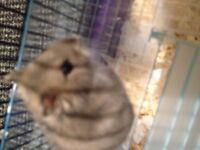 Female Dwalf Hamster