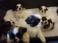 Shih Tzu Puppies 6 and a half weeks old
