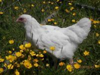 Splash Maran Pullet chicken/hen