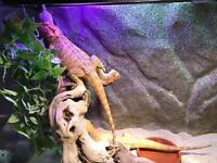 Bearded dragons + set up