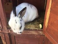 Beautiful white and black rabbit free to good home.