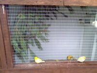 canarys fifes x 10 cocks 8 pound each no offers