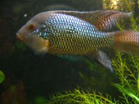 Three mature pearl geophagus for sale.