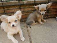 2 STUNNING long haired Chihuahua puppies.ready to leave now.