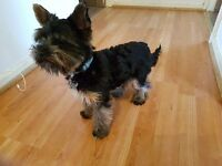 Yorkshire terrier miniature