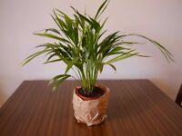 Areca Palm -House Plant