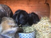 Baby lop rabbits for sale