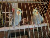 2 beautiful Cockatiels including cage and accessories