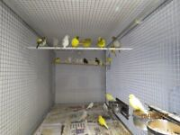 Canaries for sale, this years young and last years adults, giving up hobby