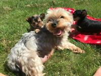 Yorkshire Terrier cross Chihuahua puppies