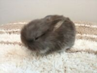 I have litter of 4 beautiful baby mini lop ready to reserved now and will be ready to leave in 4 wks
