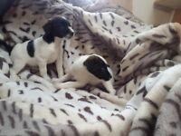 2 jack russle puppies