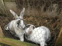 Two male white rabbits