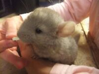Male & Female Chinchillas for sale. 4 month old and others ready to leave their Mum early November