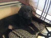 8week old labradoodle pups