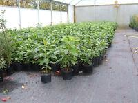 Laurel Hedging evergreen,2lt potted 40-60cm tall,fantastic price,plant 3 per metre.£5.00.