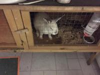 Beautiful Netherlands short eared dwarf rabbit.