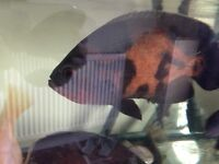 Two xl large Oscars tropical fish