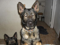 KC registered pedigree German Shepherd x 2