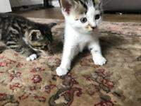 Kittens ready to leave 28th July