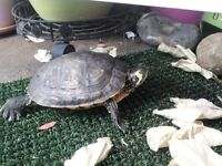 2 yo yellow bellied terrapin