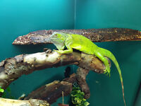Green Iguana Approx Year Old