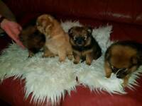 pomeranian puppies for sale 2 girls and 3 boys