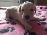 Cockapoo puppies Pra/prcd hereditary clear