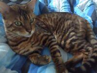 Min the Bengal Cat