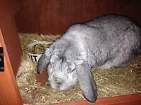 Beautiful French lop male