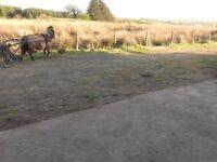 miniature shetland golden dunn driving mare