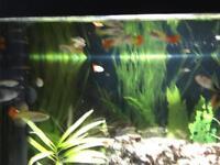 Tropical fish, guppies