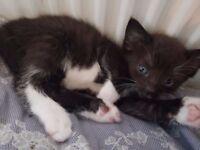 Gorgeous male kitten