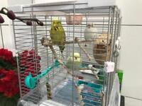 4 bird with cage n food for sale