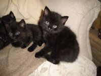 Kittens - Black / Black and White