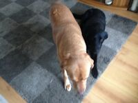 2 lovely Labradors urgently need new home