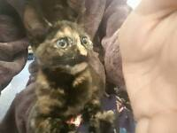 Brown black Grey ginger tabby tortoiseshell kitten cat female girl