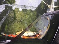 4 hi quality Japanese koi carp pond fish for sale