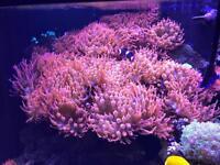 Anemone/pink bubble tip/marine/tank/fish/frag