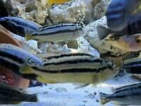 10x malawi cilchid tropical fish