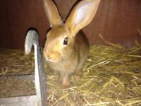 Belgium Hares