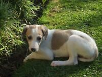 Lurcher Puppies for sale - 3 x male and 3 x female