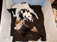 Collie Cross Parson Terrier puppys