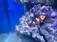 3 marine clownfish.