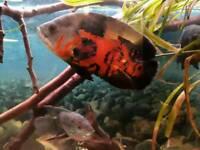 Large Tiger Oscar cichlid