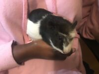 Beautiful Guinea Pigs Looking For New Home