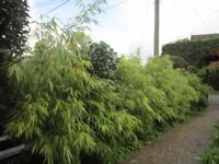 10 Bamboo plants 5ft-6ft max height Fargesia Rufa Chinese fountain bamboo £30 each
