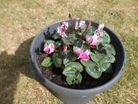 Very Pretty Pink/White Tone Cyclamen Plant in Large Grey Slate Colour Pot