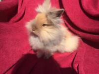 Purebred lionhead rabbits - boys