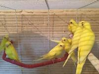 Lutino and albino budgies for sale